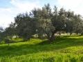 Albero-Ulivo.jpg