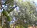 Olive-Alcamo.jpg